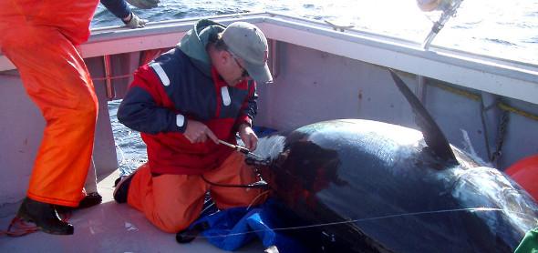 【神経締め】釣った魚をおいしく食べるための絞め具